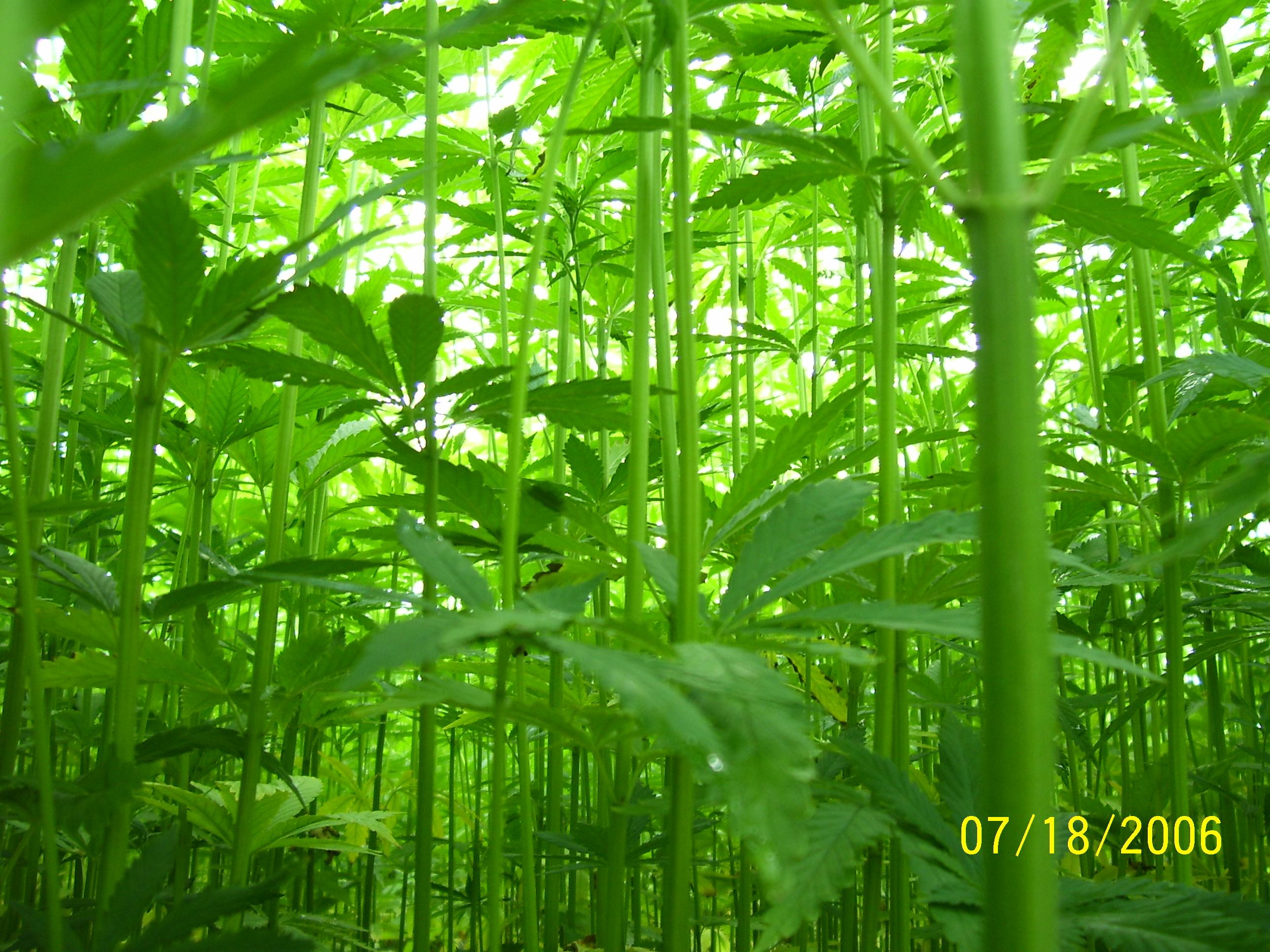 Hemp canopy